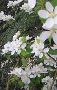 apple-ponderosa